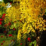 grow and care for a cassia tree